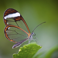 Buy canvas prints of The Glasswinged Butterfly by Bahadir Yeniceri