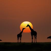 Buy canvas prints of  African Sunset by Bahadir Yeniceri