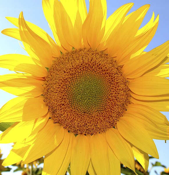 Sunflower Ray Of Sunshine Canvas print by Jeanette Szekeres-Pate