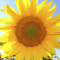 Buy canvas prints of Sunflower Ray Of Sunshine by Jeanette Szekeres-Pate