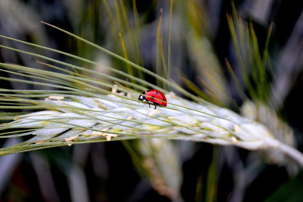 Ladybird on Barley Canvas print by Jeanette Szekeres-Pate