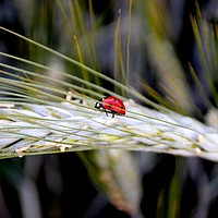 Buy canvas prints of Ladybird on Barley by Jeanette Szekeres-Pate