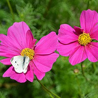 Buy canvas prints of Cabbage White by Jeanette Szekeres-Pate