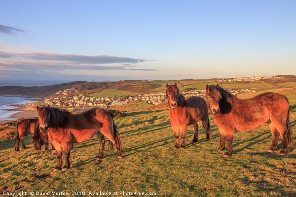 Exmoor Ponies on Woolacombe Down Canvas Print by David Morton