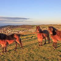Buy canvas prints of Exmoor Ponies on Woolacombe Down by David Morton