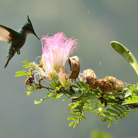 Buy canvas prints of Caribbean Hummingbird by mike hudson