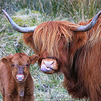 Buy canvas prints of Highland Cows by JM Braat