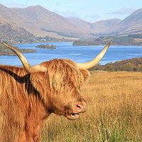 Buy canvas prints of Highland Coo at Loch Awe by Jane Braat