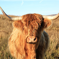 Buy canvas prints of Highland Cow by Jane Braat
