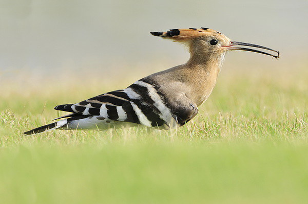 A Colourful Hoopoe Canvas print by Jacqueline Burrell