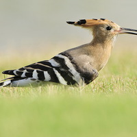 Buy canvas prints of A Colourful Hoopoe by Jacqueline Burrell
