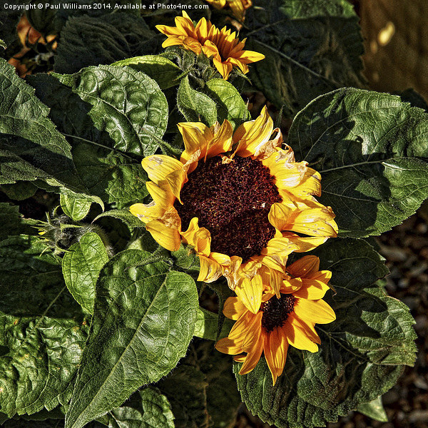 Sunflower Canvas print by Paul Williams