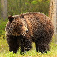 Buy canvas prints of Grizzly Bear by Stephen Stookey