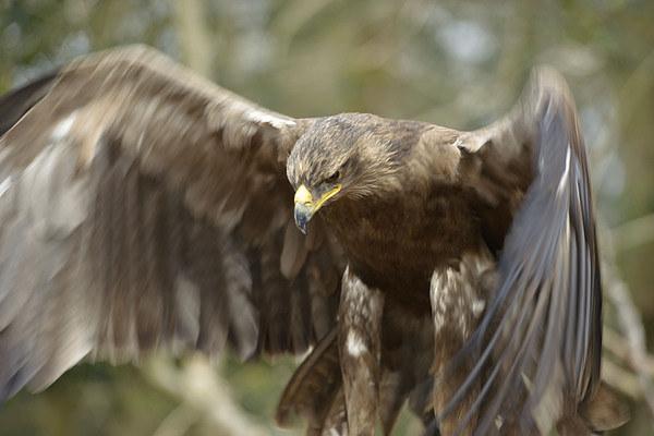 Golden Eagle  Canvas print by Shaun Jacobs