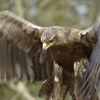 Buy canvas prints of  Golden Eagle  by Shaun Jacobs