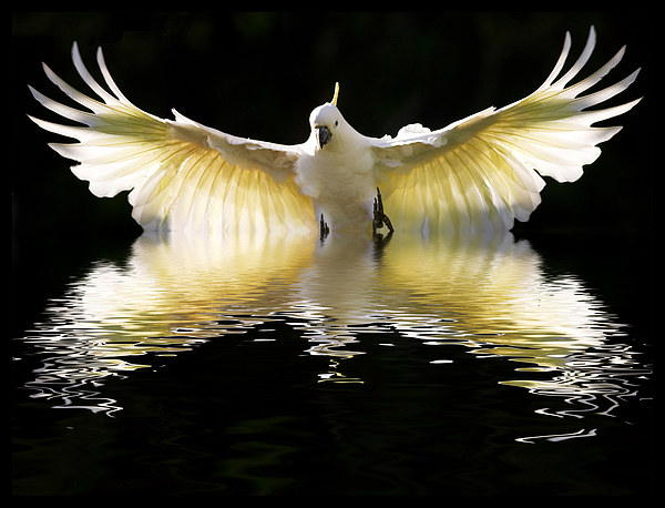Sulphur crested cockatoo in flight Canvas print by Sheila  Smart