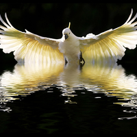 Buy canvas prints of Sulphur crested cockatoo in flight by Sheila  Smart