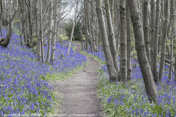 Bluebell Walk, Riverhill Himalayan Gardens Canvas print by Diane Griffiths