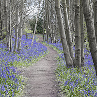 Buy canvas prints of Bluebell Walk, Riverhill Himalayan Gardens by Diane Griffiths