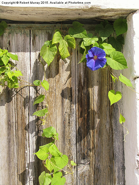 Morning Glory Canvas print by Robert Murray