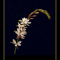 "Buy canvas prints of Gaura ""The Bride"" by Robert Murray"