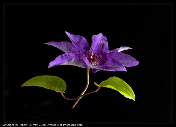 """Clematis """"The President"""" Canvas Print by Robert Murray"""