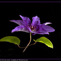 """Buy canvas prints of Clematis """"The President"""" by Robert Murray"""