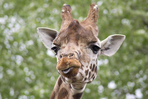 Curious Giraffe Print by Andy Heap