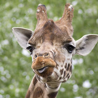 Buy canvas prints of Curious Giraffe by Andy Heap