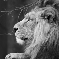 Buy canvas prints of King of Beasts by Andy Heap