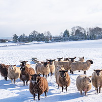Buy canvas prints of Winter Sheep. by Richard Pinder
