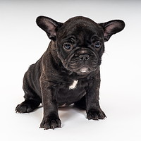 Buy canvas prints of Indian Sunrise, French Bulldog Puppy by Richard Pinder