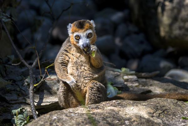 Lemur Canvas print by Dean Merry