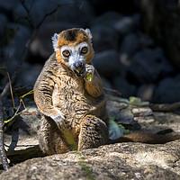 Buy canvas prints of Lemur by Dean Merry