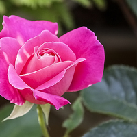 Buy canvas prints of Pink Rose by Frank Stretton