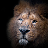 Buy canvas prints of Lion portrait by The Hungry  Aperture