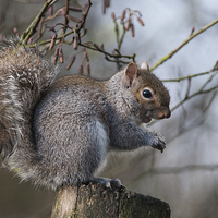 Buy canvas prints of Squirrel by The Hungry  Aperture