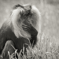 Buy canvas prints of Lion Tailed Macaque by The Hungry  Aperture