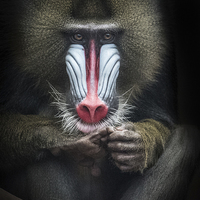 Buy canvas prints of Mandrill by The Hungry  Aperture