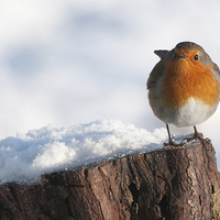 Buy canvas prints of Robin by The Hungry  Aperture