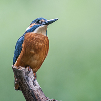 Buy canvas prints of Kingfisher by The Hungry  Aperture