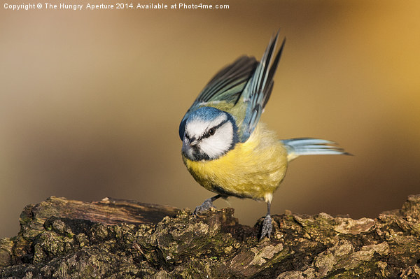 Blue Tit Canvas Print by The Hungry  Aperture