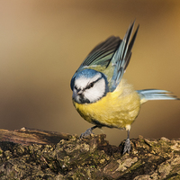 Buy canvas prints of Blue Tit by The Hungry  Aperture