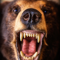 Buy canvas prints of Grizzly Bear by Edward Fielding