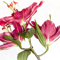 Buy canvas prints of Lily On White Background. by Peter Bunker
