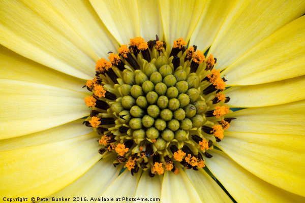 Sunflower Canvas print by Peter Bunker
