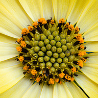Buy canvas prints of Sunflower by Peter Bunker