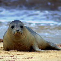 Buy canvas prints of Seal at Horsey Gap Norfolk by Andy Smith