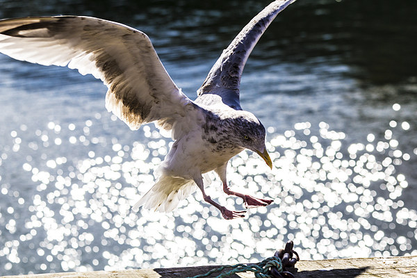 Seagull landing. Print by Gregory Culley