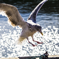 Buy canvas prints of Seagull landing. by Gregory Culley